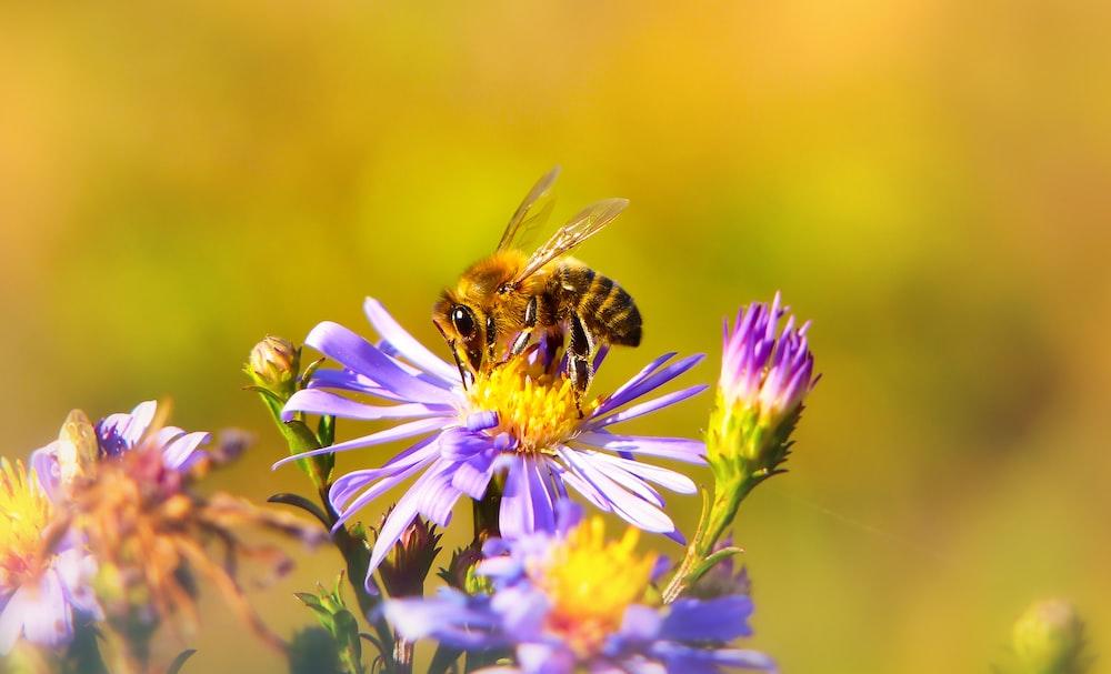 yellow and black honeybee perching on purple chrysanthemum flower