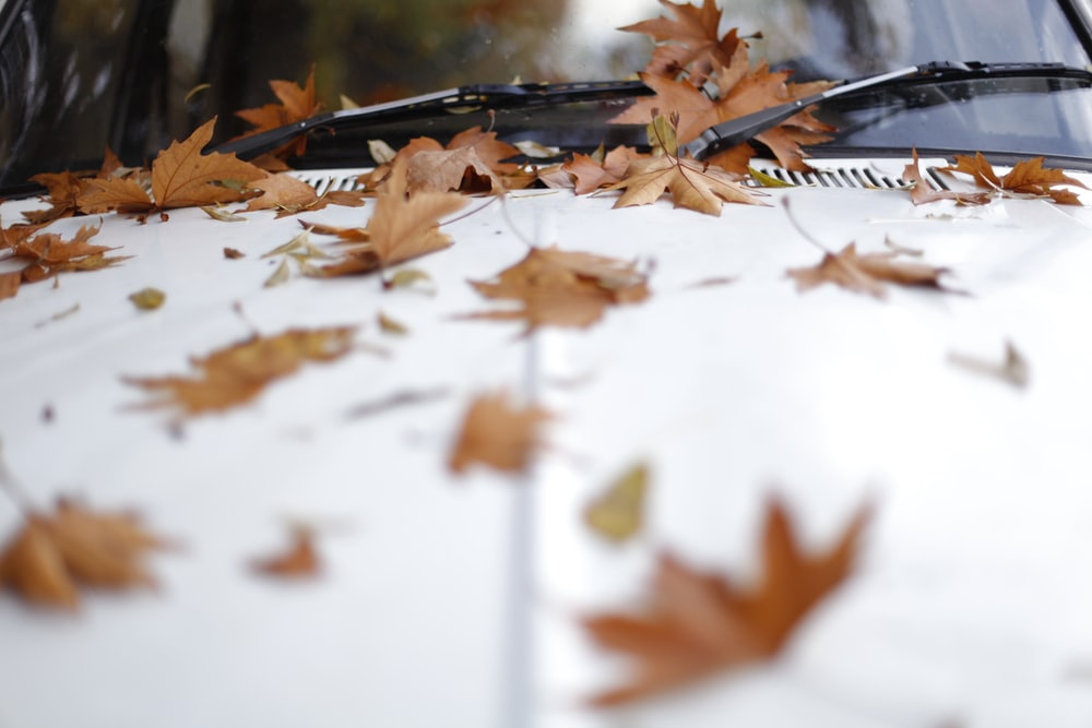 shallow focus photography of maple leaves on white car hood