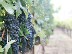 4641. Bor,szőlő, borászatok