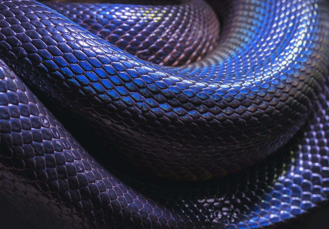 A photo of the blue iridescent coils of  an Australian Water Python.