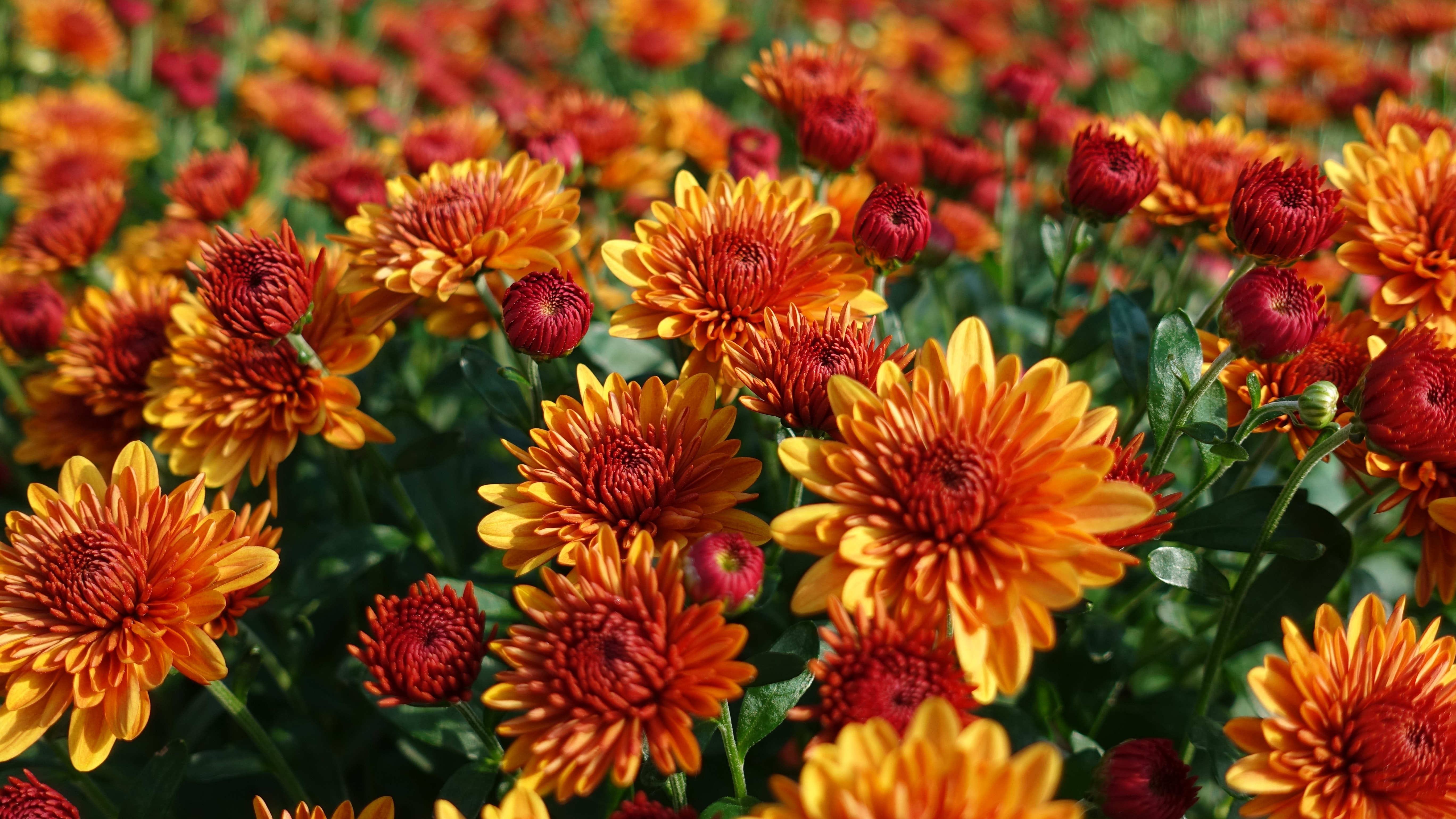 closeup photography of red-and-yellow petaled flowers