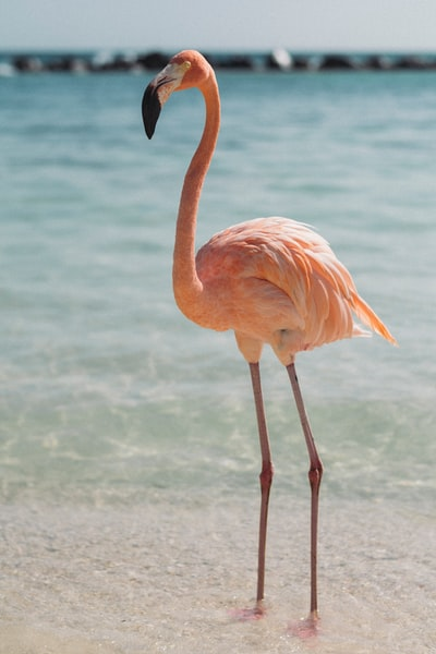 pink flamingo beside body of water