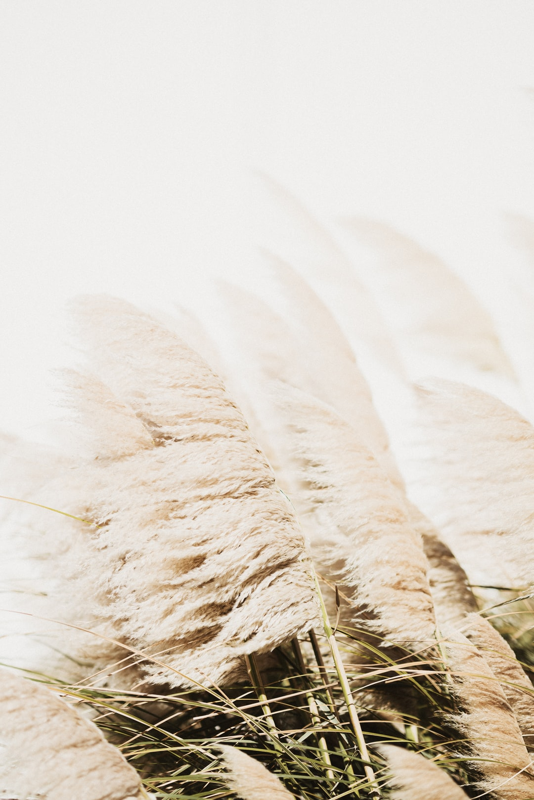 Pampas Grass in the breeze