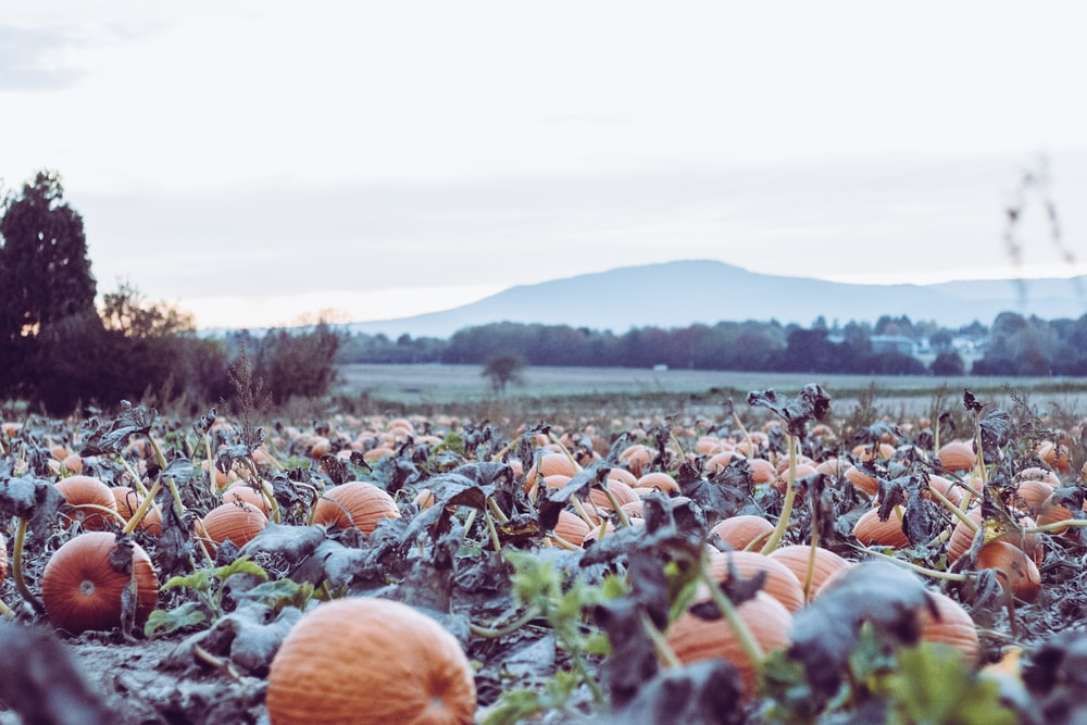 pumpkins on ground