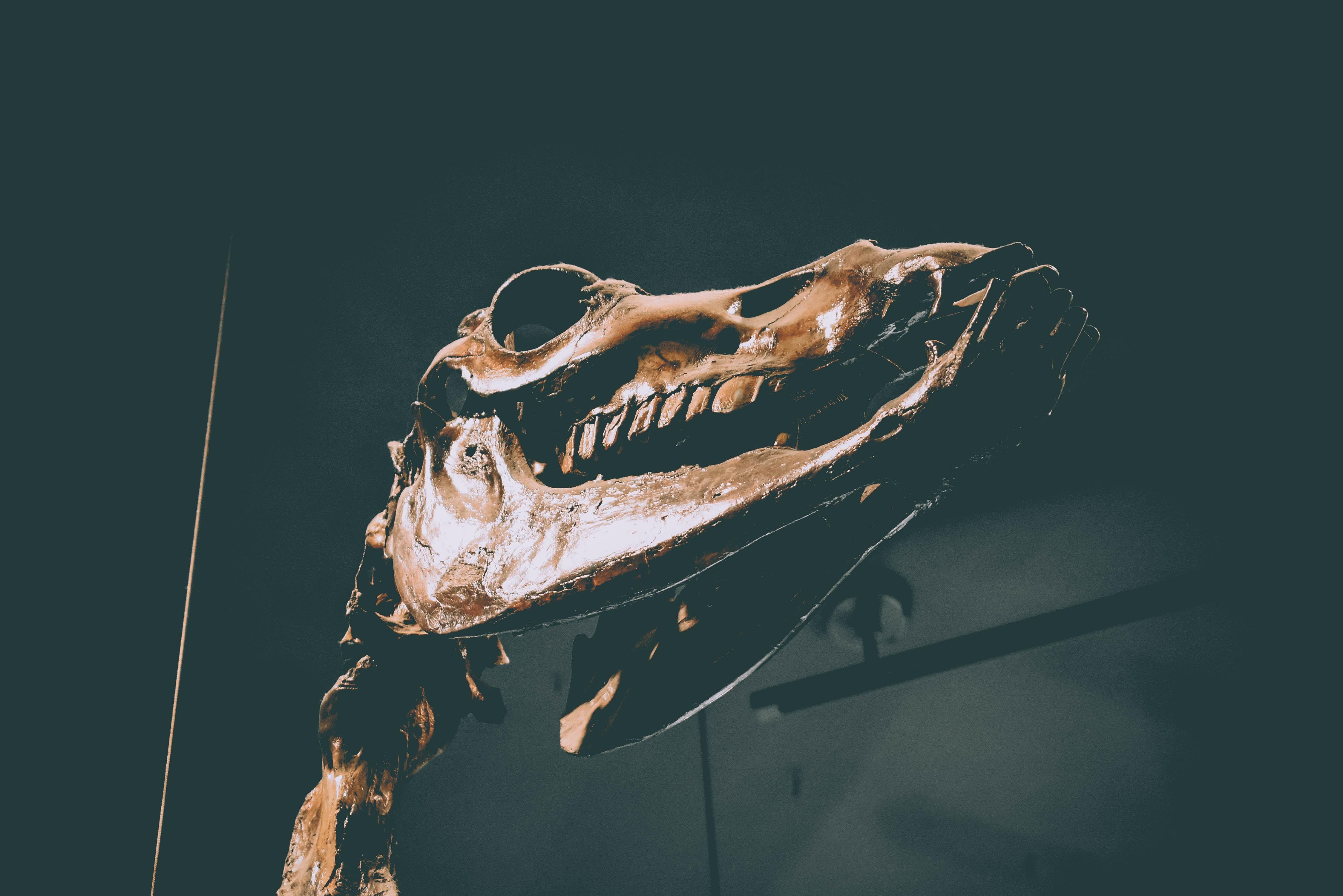 brown dinosaur skull