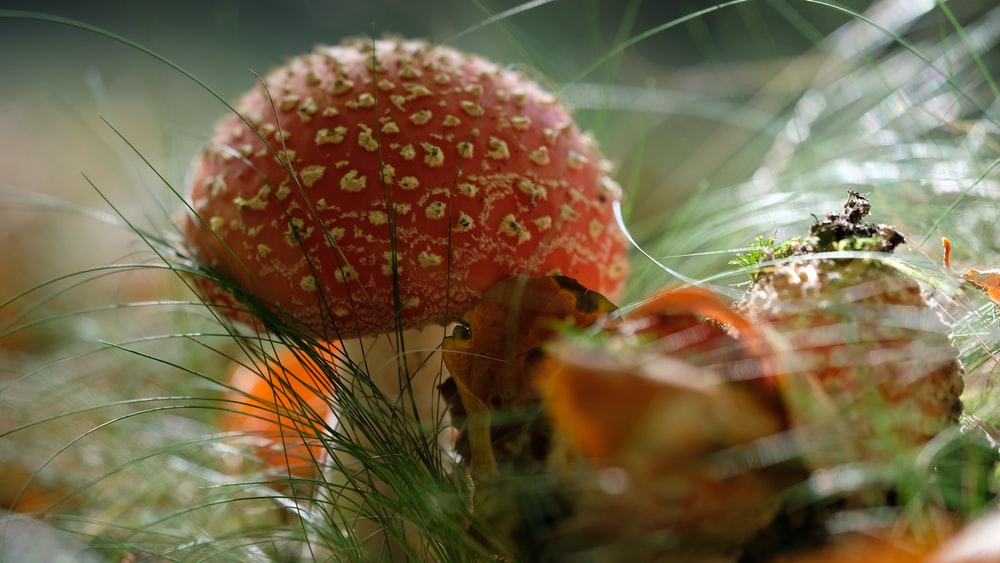 close-up photography of red mushroom