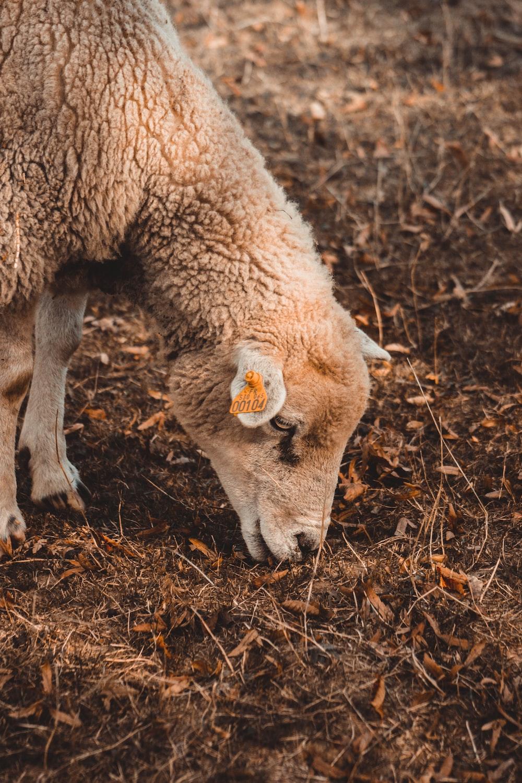 beige lamb eating grass