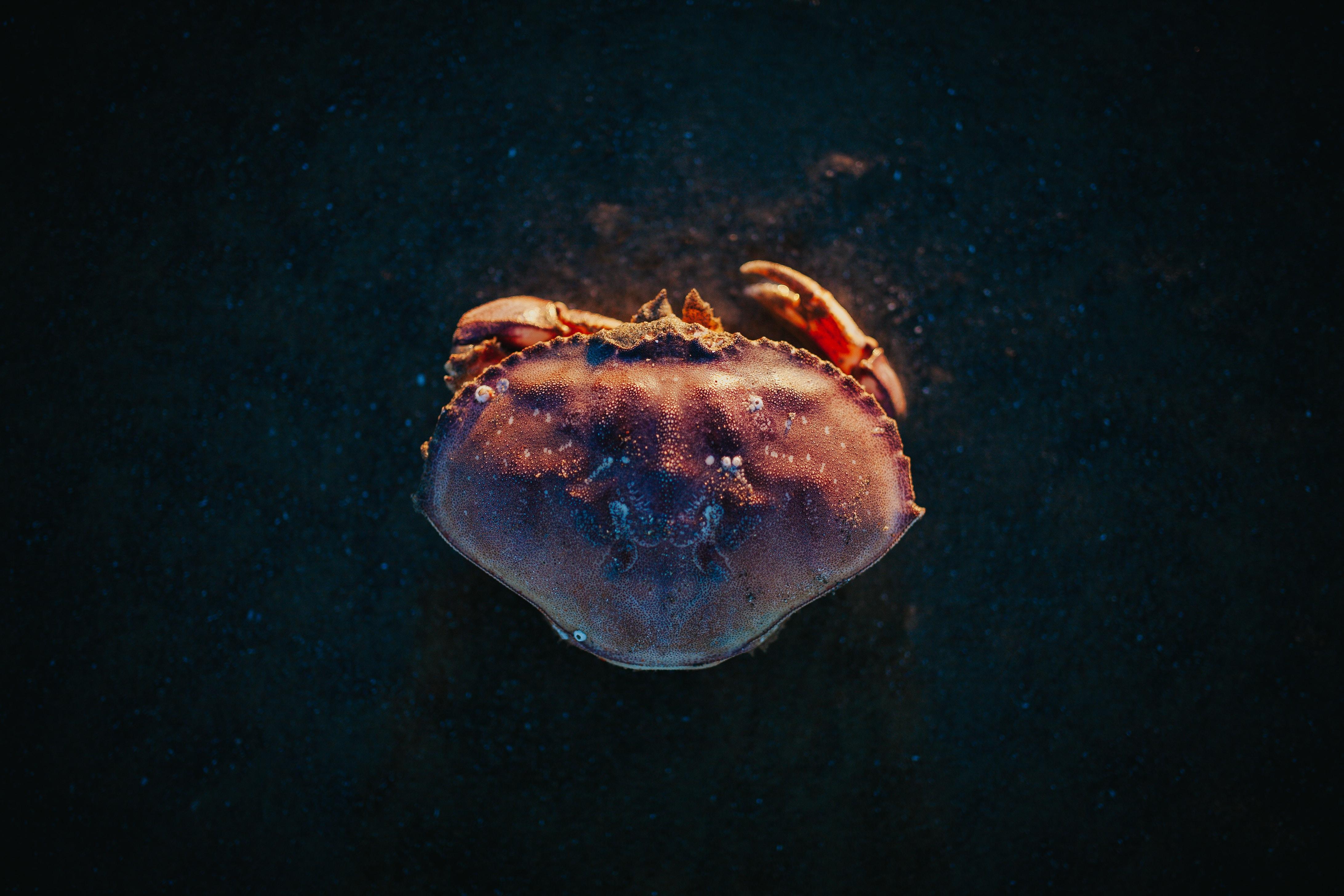close-up photo ofg red crab