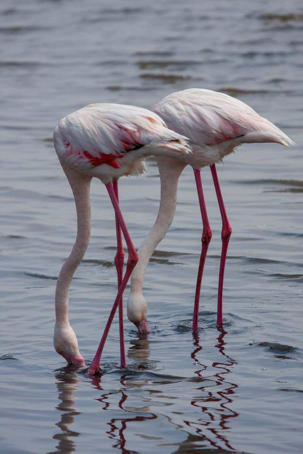 two white and pink flamingos on body of water