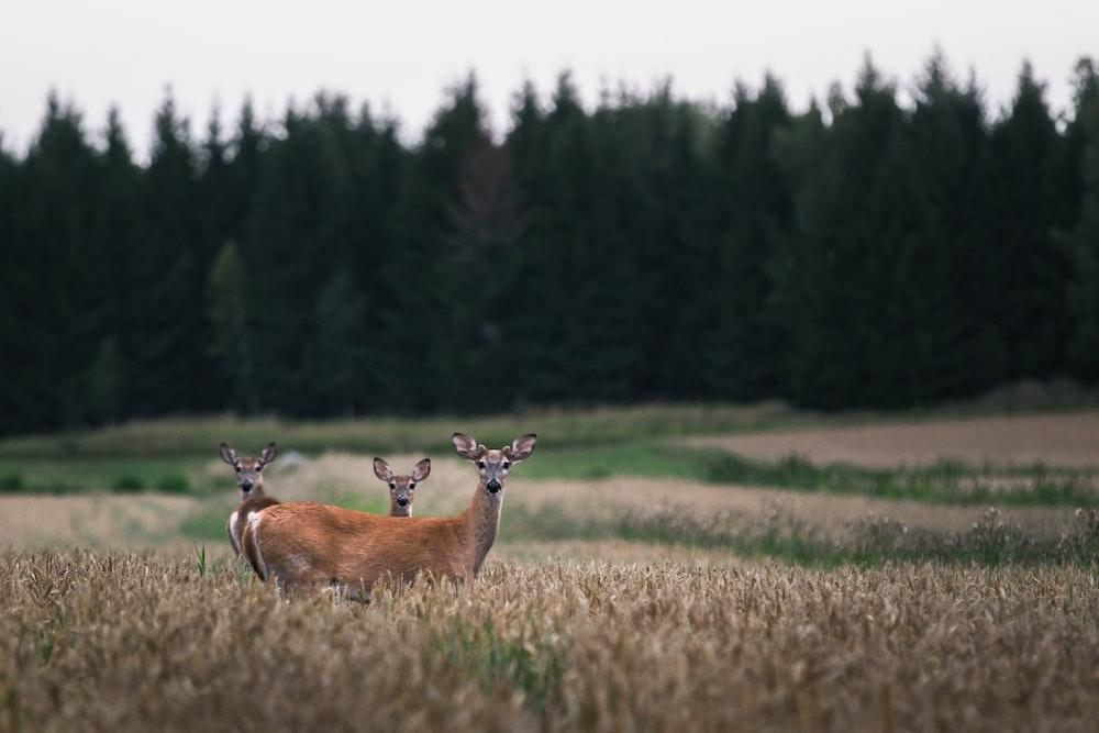 three brown deer on grass field