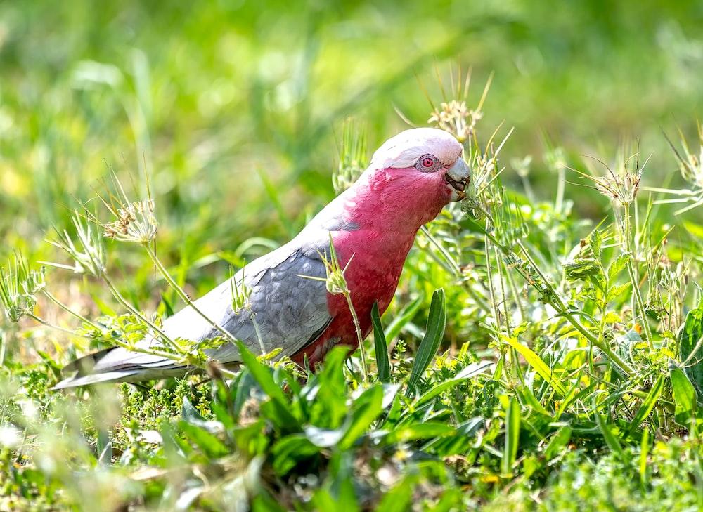 red bird on grass field