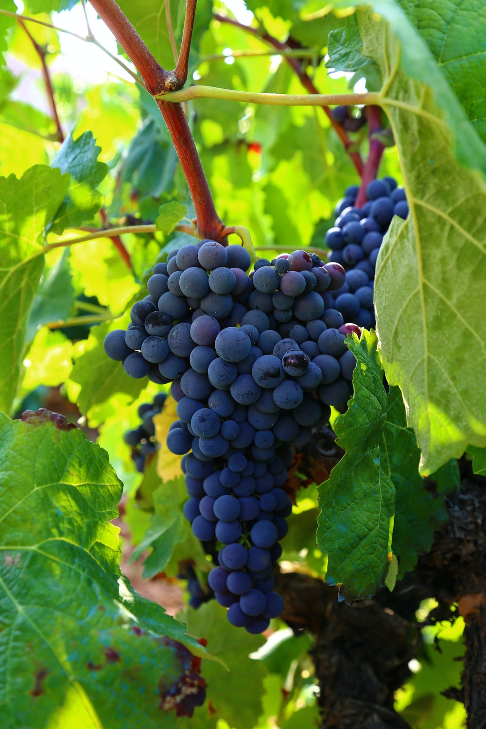 view of grapes on tree