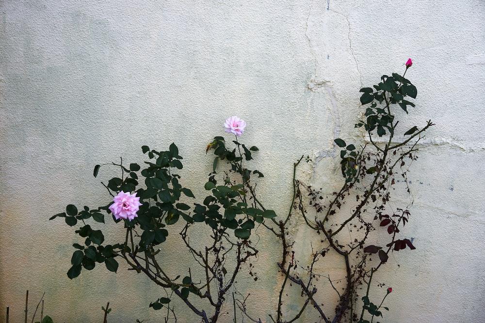 pink petaled flower near wall