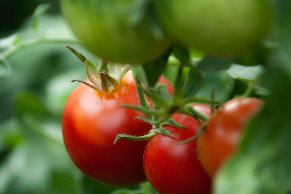close view of three red tomatoes