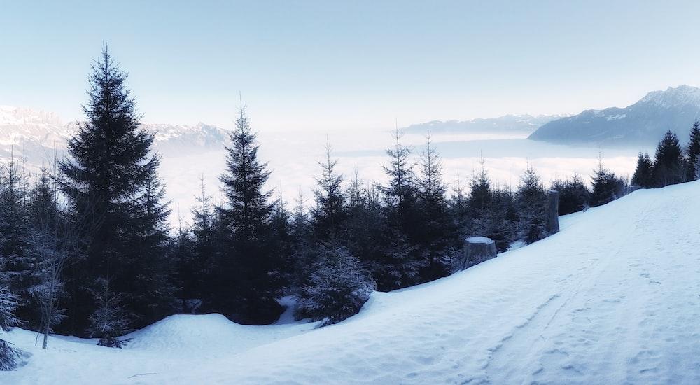 pine trees on snow terrain