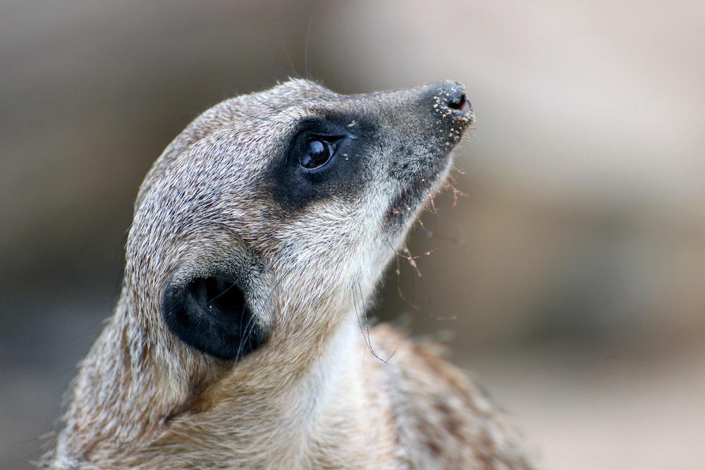 brown meerkat looking up