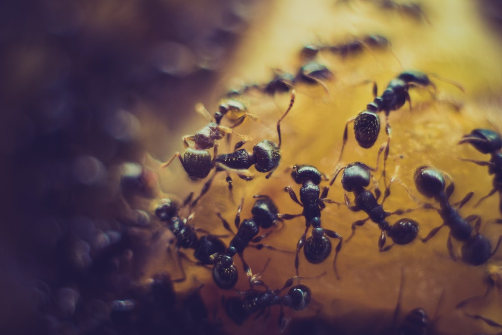 macro photofraphy of black ant