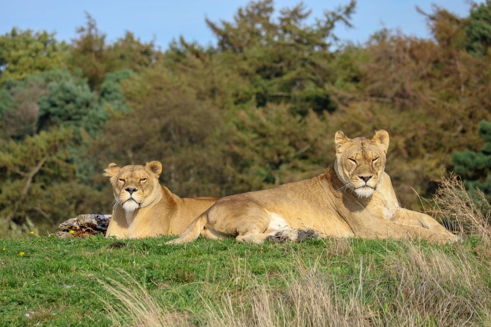 two brown lioness on grass during daytime