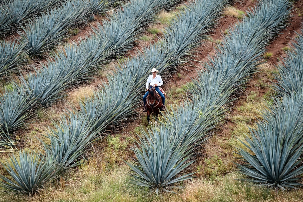man riding horse on green agave plants field