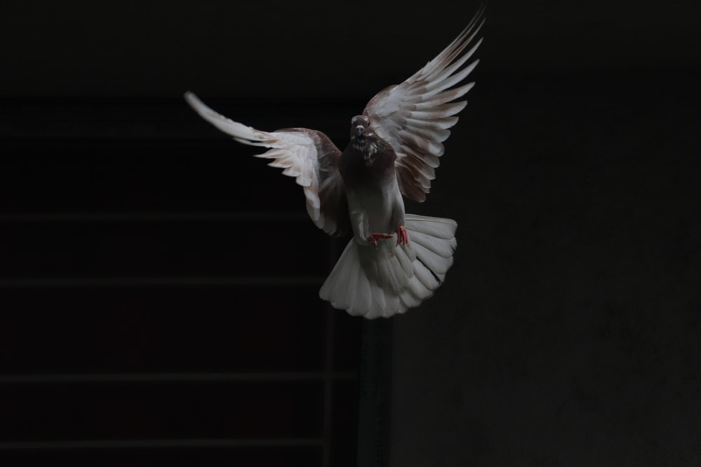 flying white and brown pigeon
