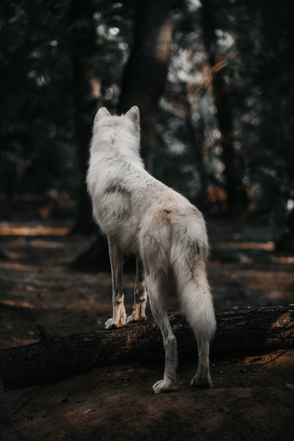 adult white dog in forest