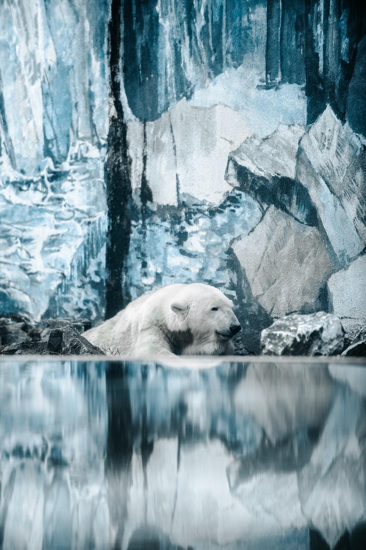 polar bear near rocks
