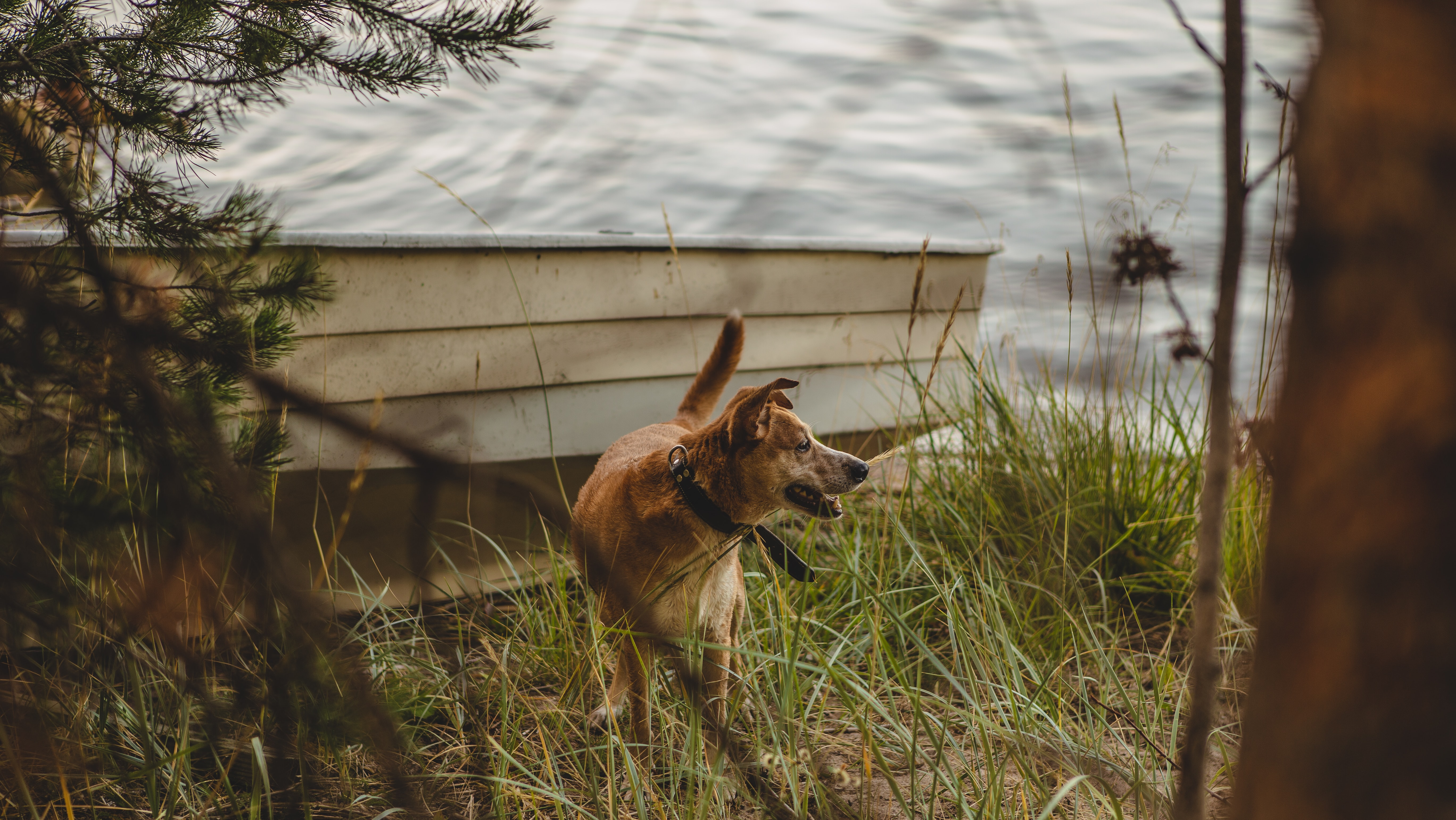 brown dog with black collar standing near gray boat beside lake during daytime