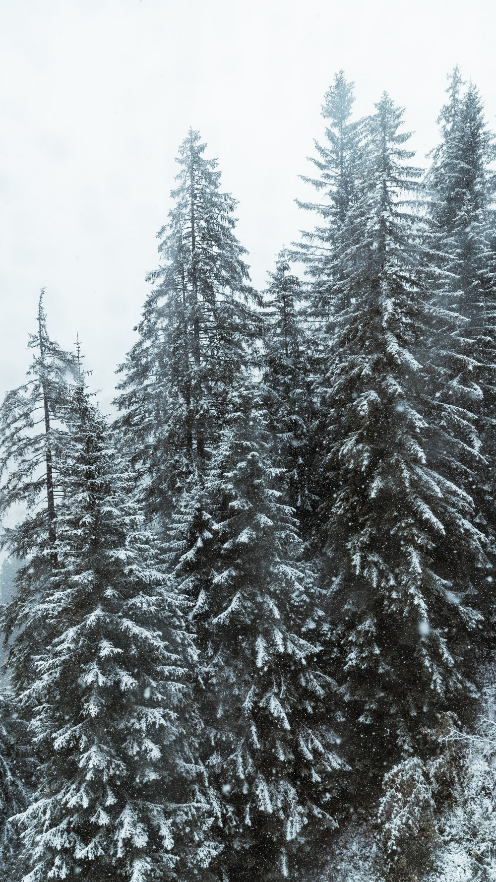 pinetrees covered with snow