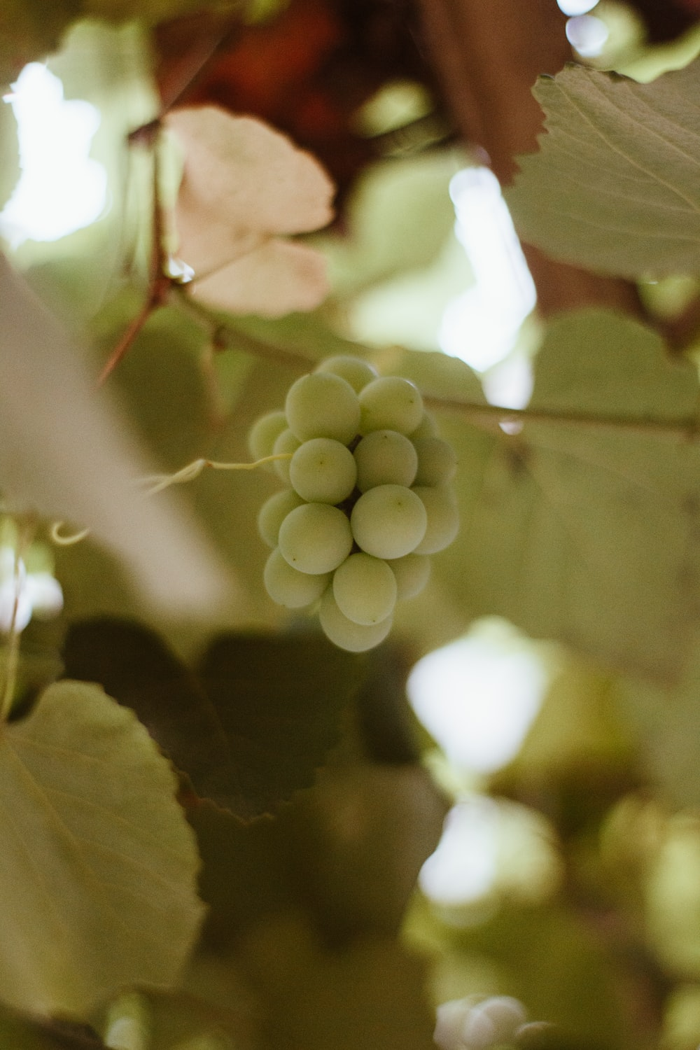 selective focus photo of bunch of white grapes