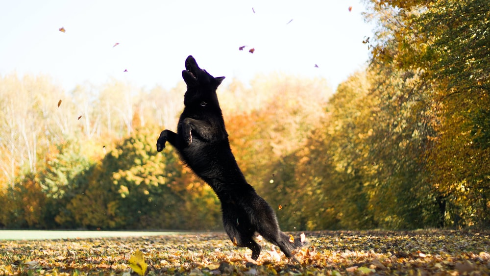 wolf jumping on leaves surrounded by trees