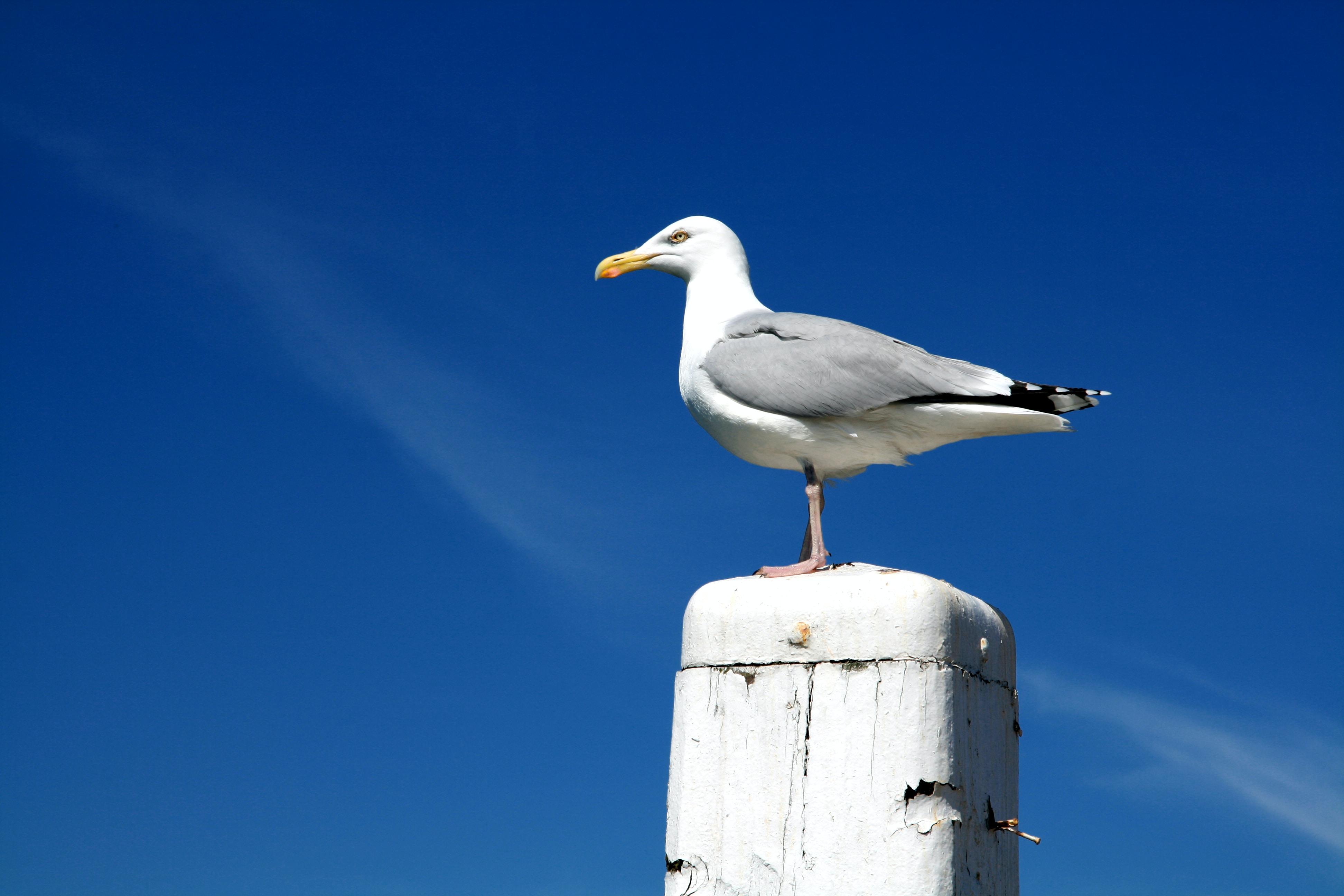 white herrin gul on white post at daytime