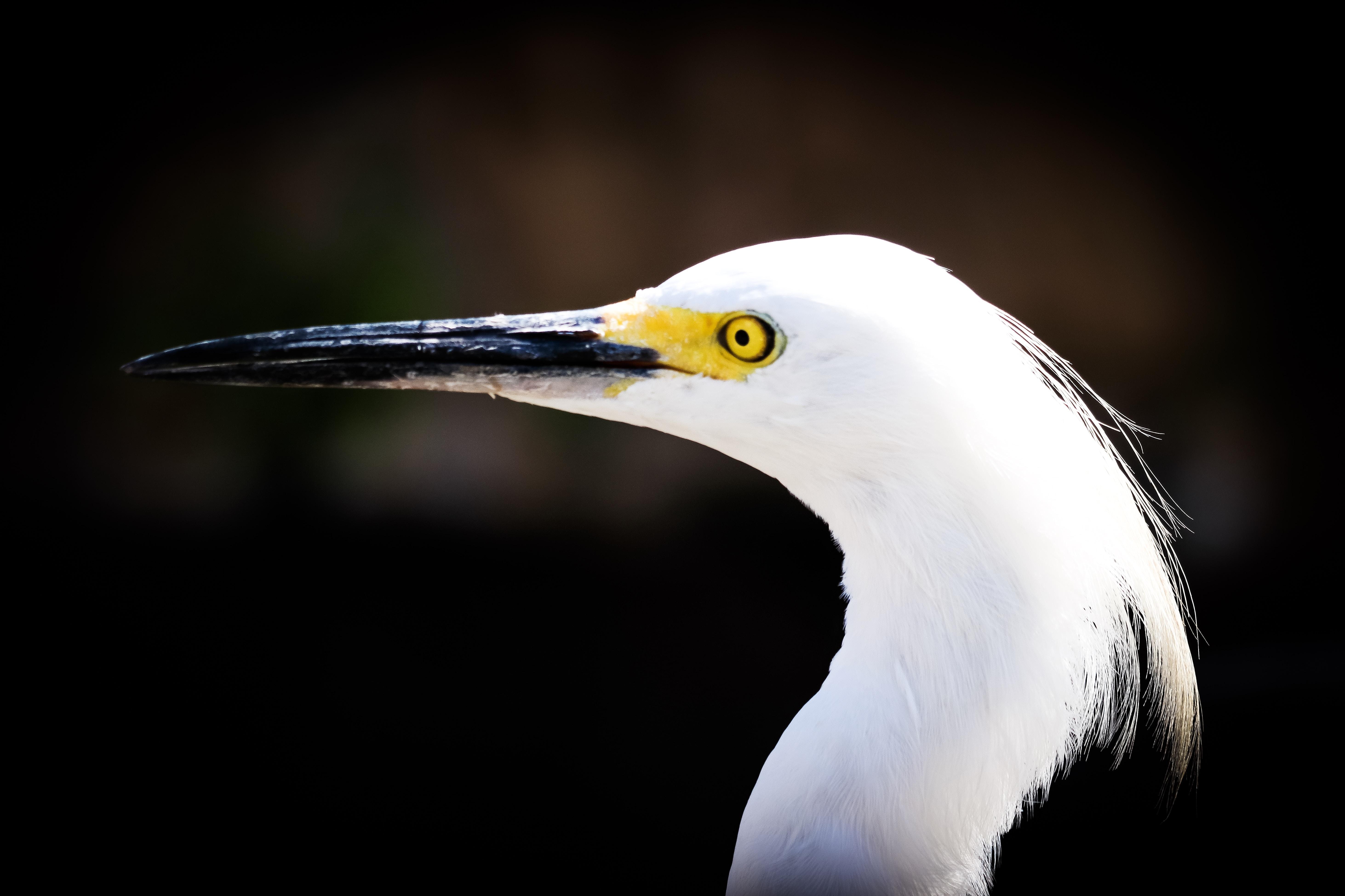 white long-beck bird