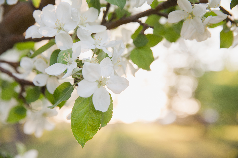 white 5-petaled flowers on macro shot
