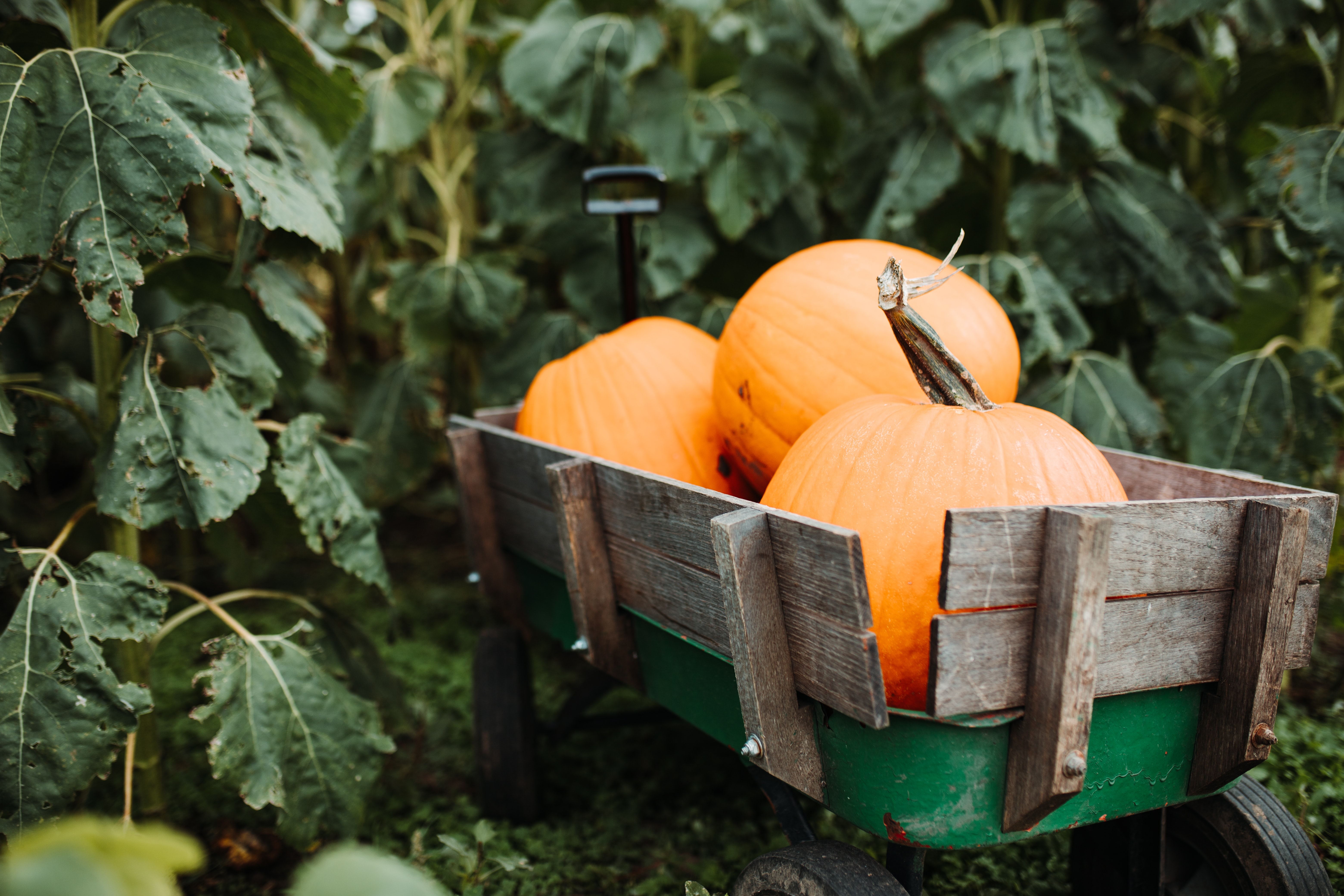 three pumpkins on brown wooden wagon