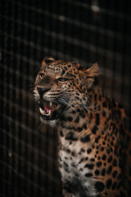 orange, white, and black jaguar