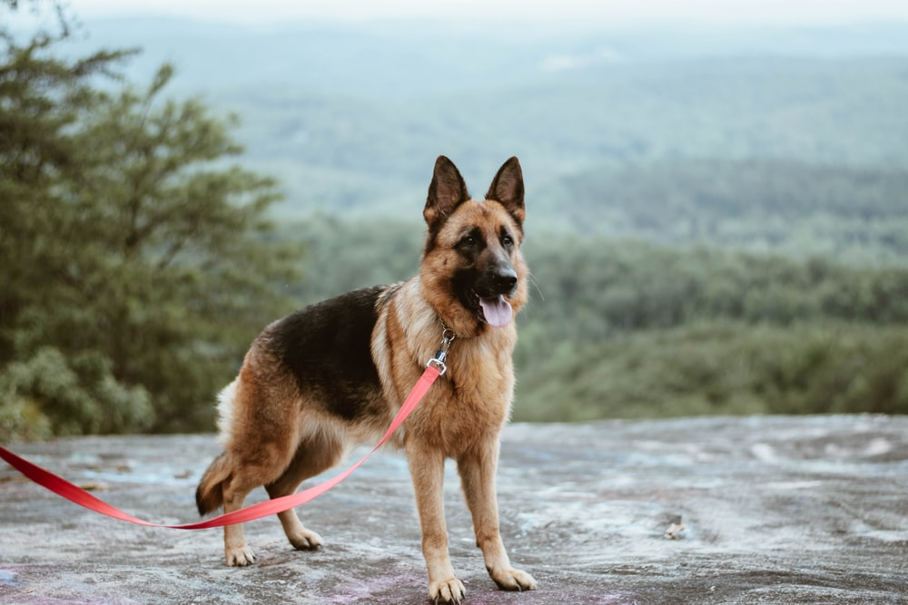 standing tan and black German shepherd dog