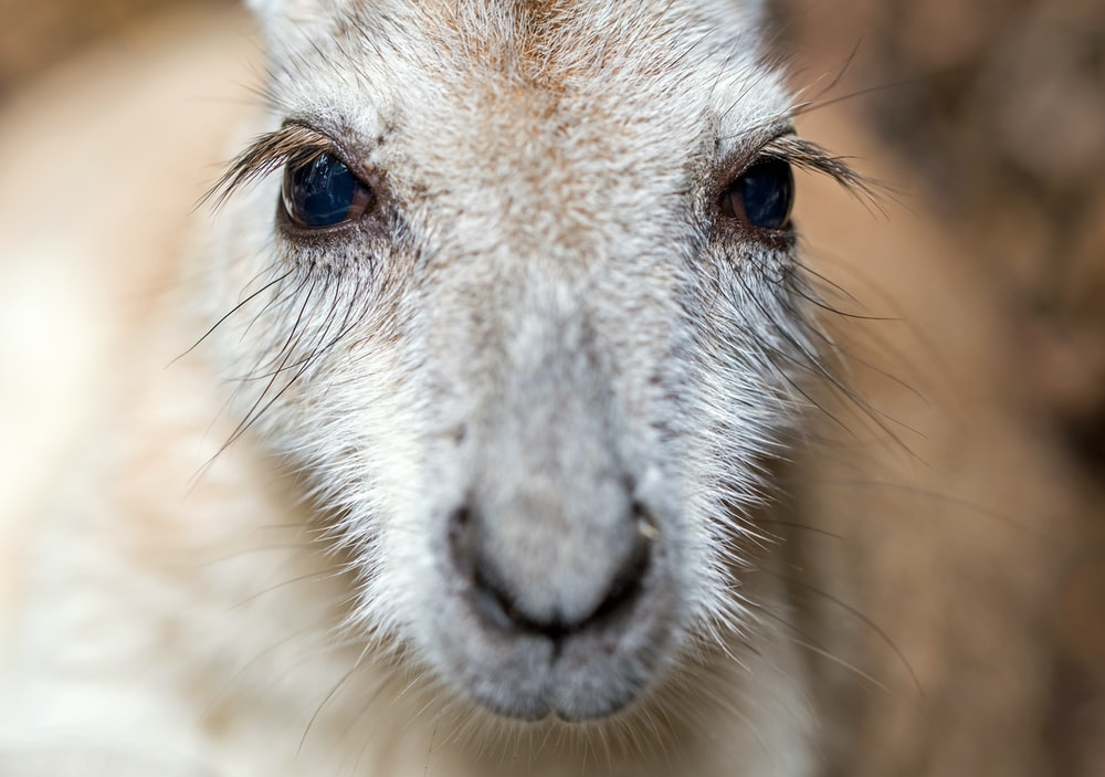 close-up photography of Kangaroo