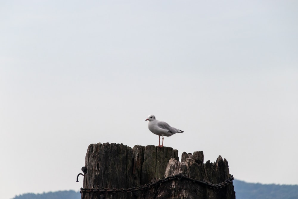 seagull perching on brown wooden pole