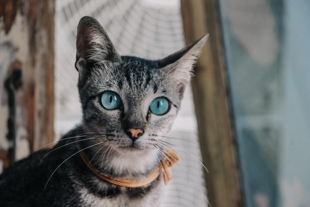 short-haired black cat