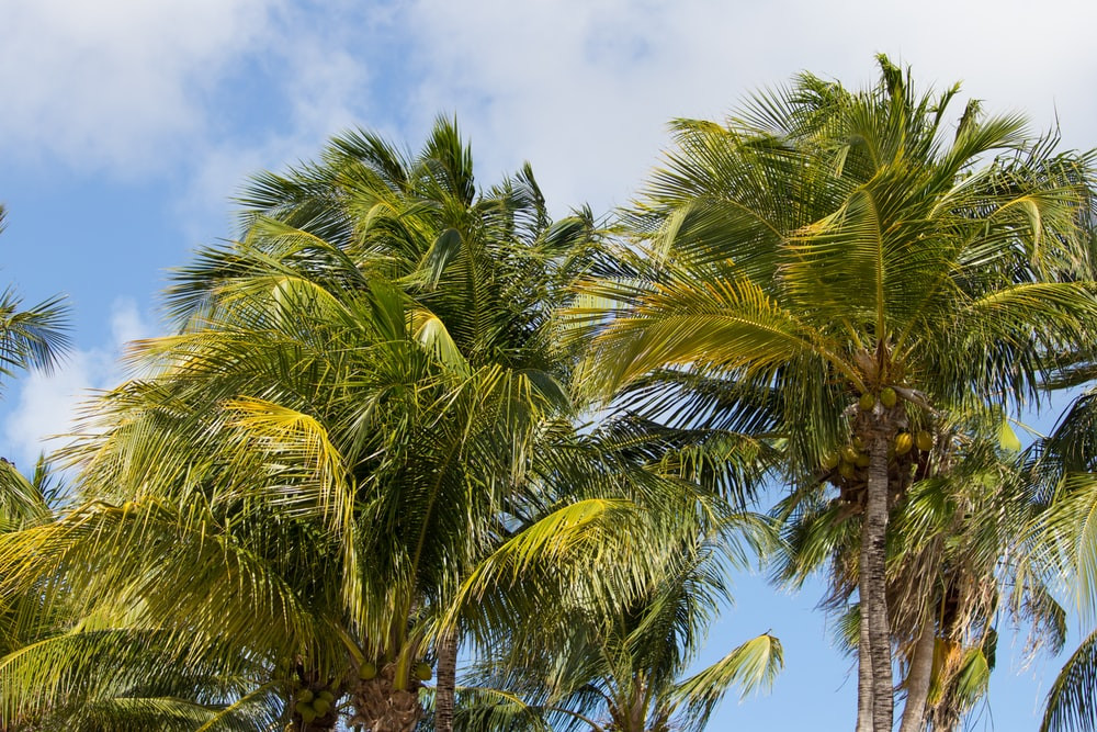 green coconut trees under cloudy sky