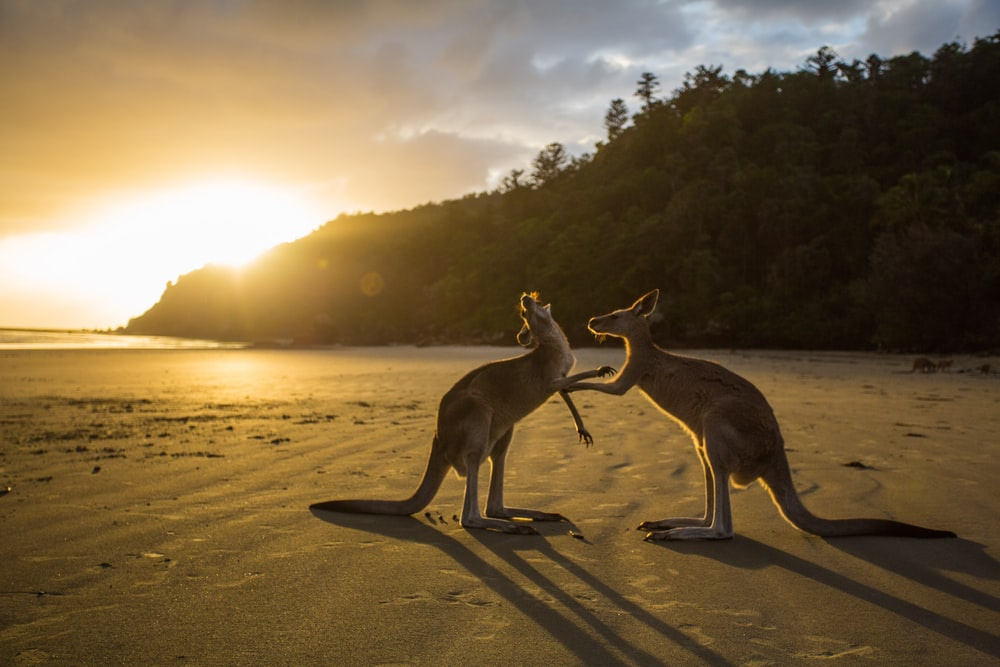 two kangaroos on seashore