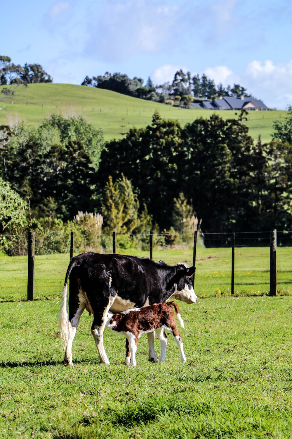 black and white cow with calf