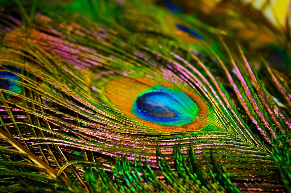 peacock feather in macro photography