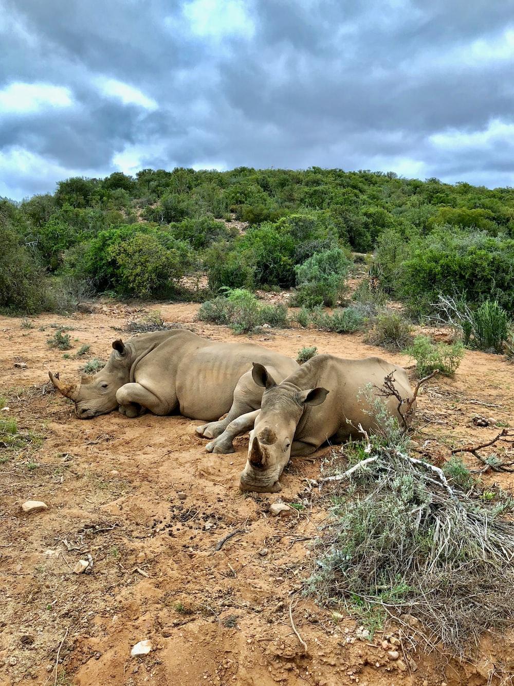 two brown rhinoceros