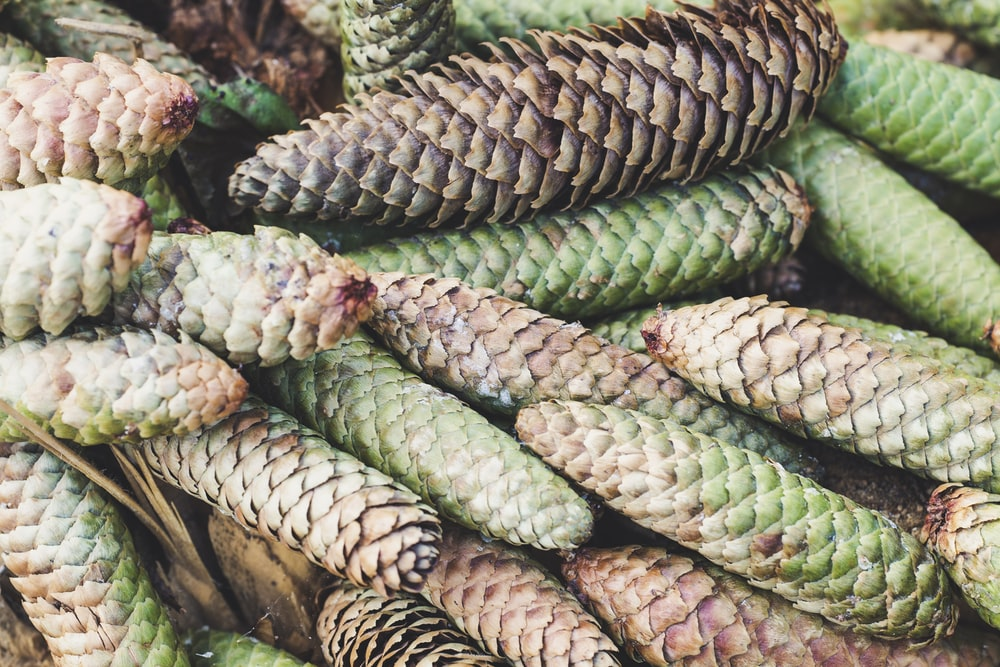 brown-and-green pine cone lot