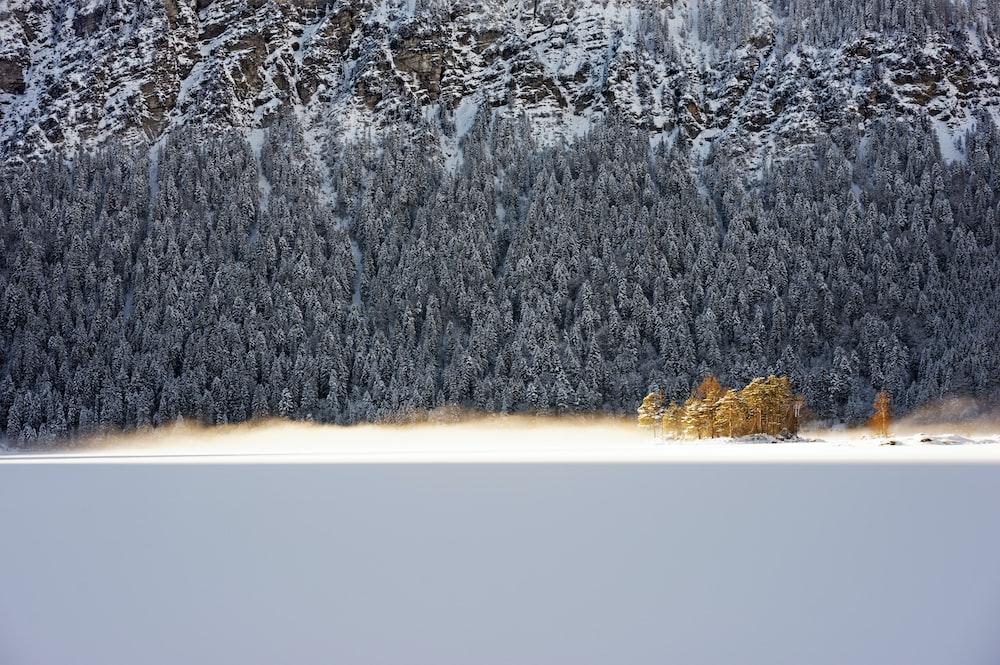gray pine trees