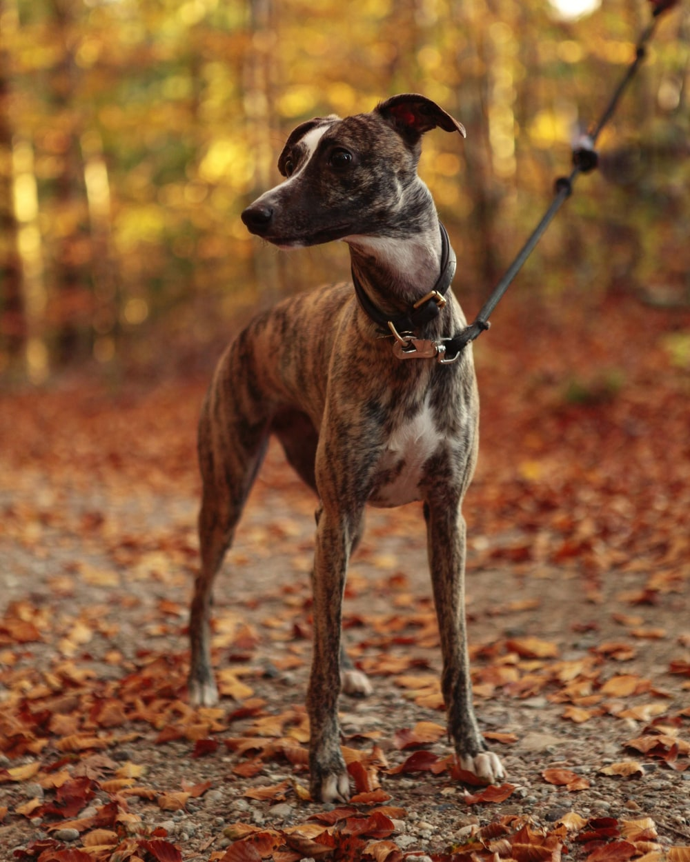 brindle hound standing on dried leaves