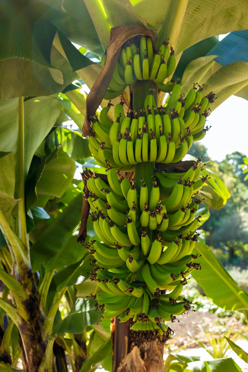 green banana fruits on tree