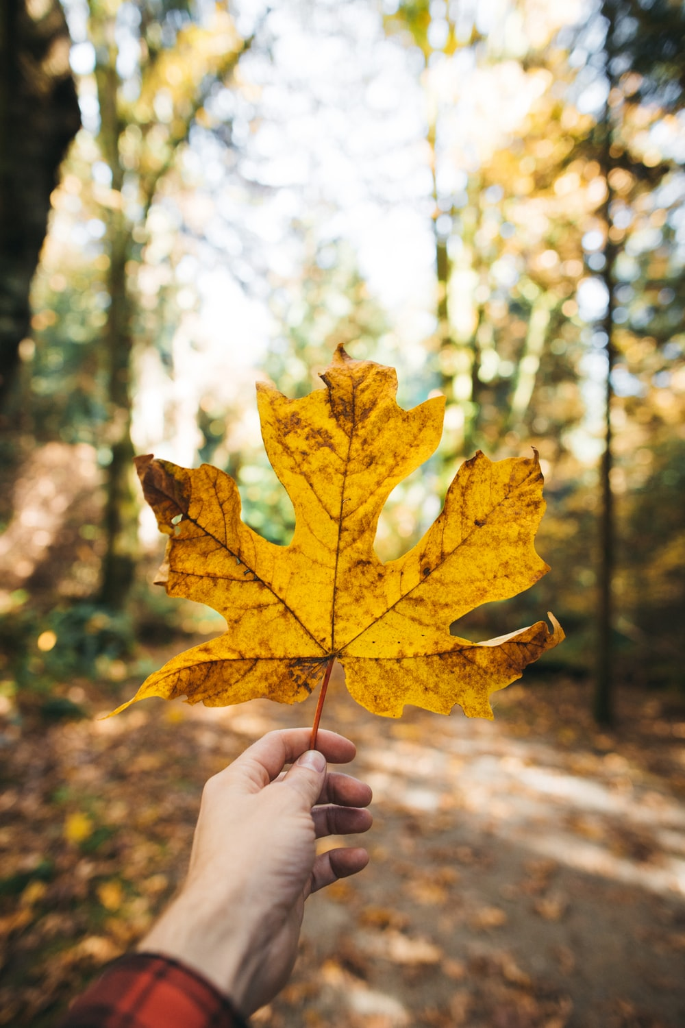 selective focus photography of person holding brown maple leaf