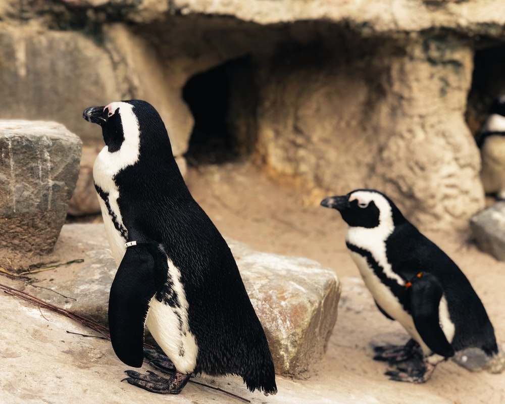 two black-and-white penguins beside stone fragment